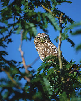 Gloria Anderson - Burrowing owl sitting in a tree