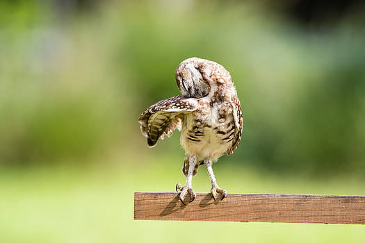 Burrowing Owl Stretching by Tracy Winter