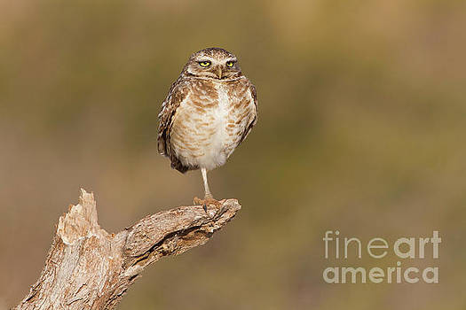 Burrowing Owl taking a break by Bryan Keil