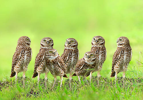 Burrowing Owl by Thy Bun