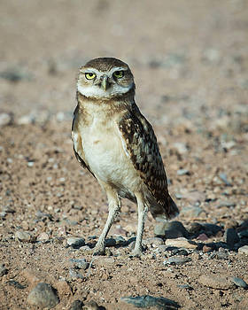 Rosemary Woods-Desert Rose Images - Burrowing owlet-IMG_604116