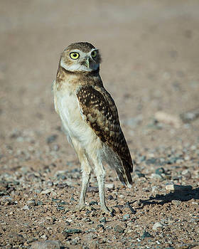 Rosemary Woods-Desert Rose Images - Burrowing owlet-IMG_604716
