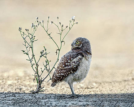 Burrowing Owlet by Wes and Dotty Weber