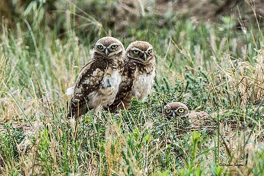 Burrowing Owlets Near Barr Lake by Stephen  Johnson