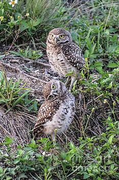 Burrowing Owls 3 by Lisa Kilby