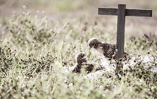 Burrowing Owls at Play by Tracy Winter