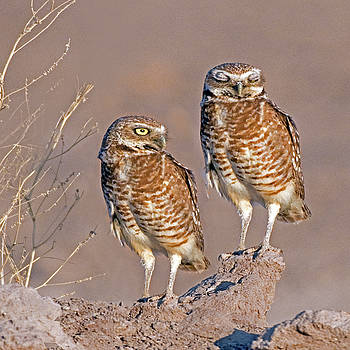 Burrowing Owls at Salton Sea by Thanh Thuy Nguyen