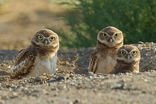 Burrowing Owls by Doug Herr