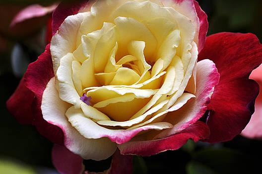 Clayton Bruster - Burst Of Rose