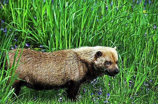 Bush Dog by Cheryl Cencich