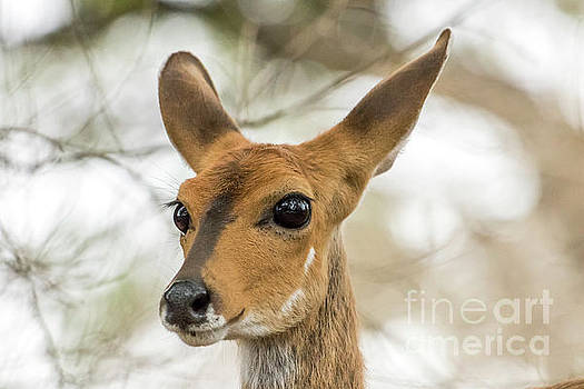 Bushbuck by Petrus Bester