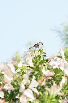 Bushtit Atop the Hibiscus by Susan Gary