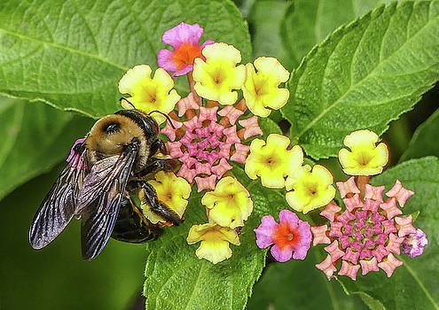 Busy Bee by Joseph Pellicone