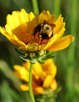 Michelle  BarlondSmith - Busy Bee on a Wild Flower