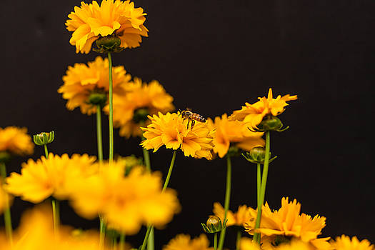 Busy Bee on Coreopsis by Judy Wright Lott