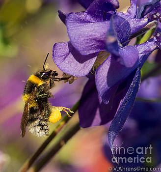 Busy Bee by Volker Ahrens
