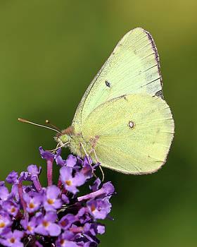 Busy Butterfly by Doris Potter