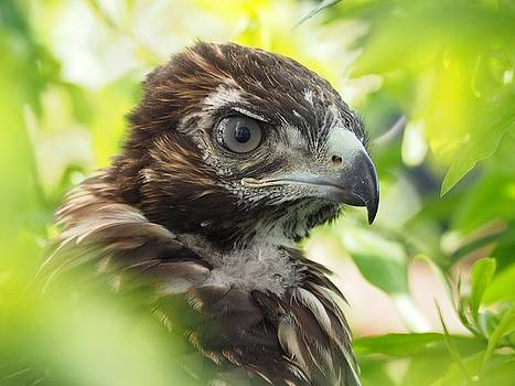 Buteo Jamaicensis by Parrish Todd