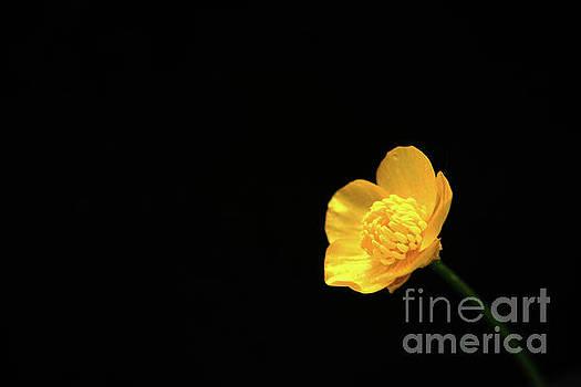 Buttercup Flower by Alan Harman