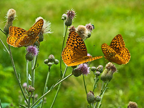 Butterflies by Andrew Kazmierski