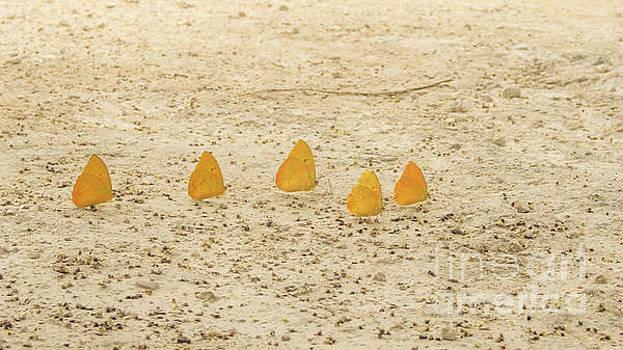 Silvia Bruno - Butterflies in a row II