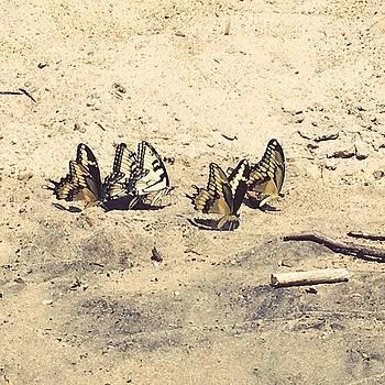 Butterflies Mudpuddling on the Beach by Kaira Lansing