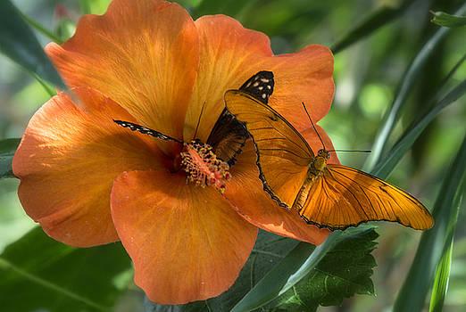 Saija  Lehtonen - Butterflies on an Orange Hibiscus