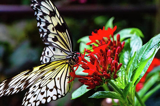 Butterfly and Flower  by Joseph Caban