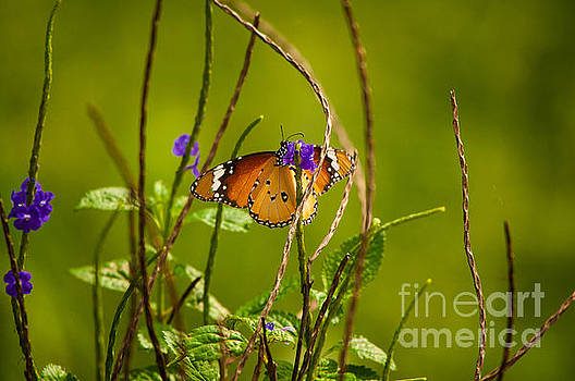Butterfly and Flower by Venura Herath