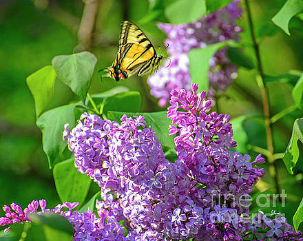 Butterfly and Lilac by Alana Ranney