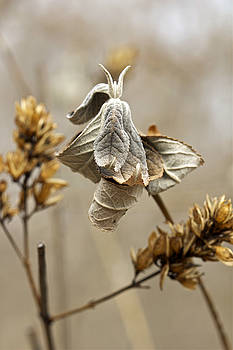 Mother Nature - Butterfly Bush - Just Before Spring