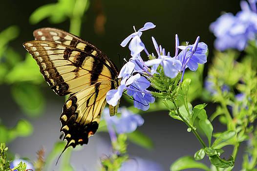 Butterfly by Dillon Kalkhurst