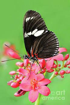 Regina Geoghan - Butterfly-Doris Longwing