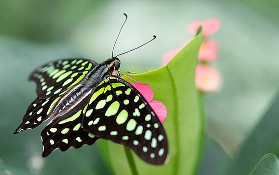 Butterfly Dreamliner by Garvin Hunter