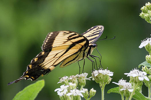 Butterfly Drinking by John Benedict