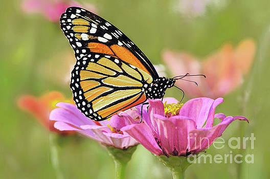 Regina Geoghan - Butterfly Garden Monarch I