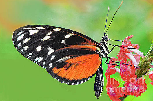 Regina Geoghan - Butterfly  Golden Helicon