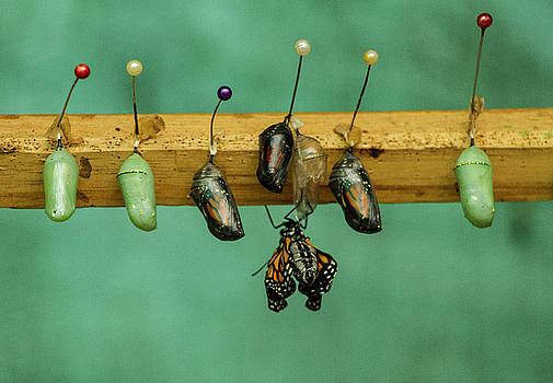 Butterfly Hatchlings by Venetia Featherstone-Witty