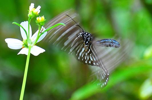 Butterfly in motion by Shawn  Miller