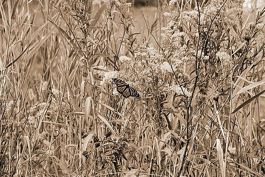 Butterfly in Sepia 1 by Francie Davis