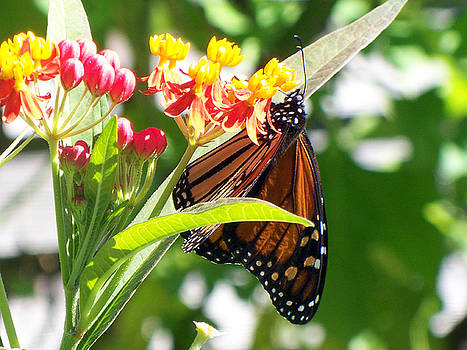 Butterfly by Jennifer Kelly