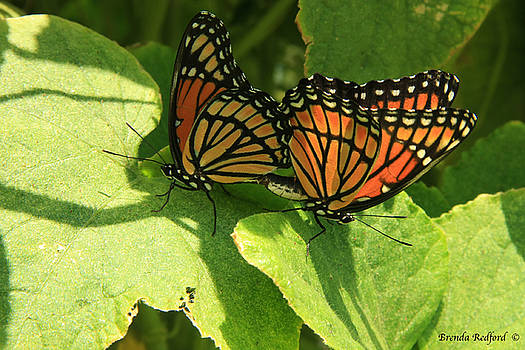 Butterfly Love by Brenda Redford