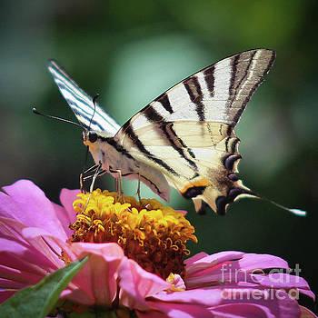 Butterfly by Nedko  Nedkov