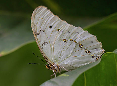 Butterfly of white and gold by Ruth Jolly