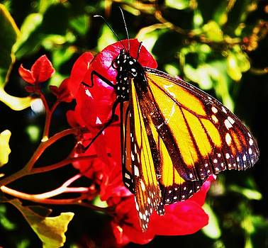 Butterfly on Bougainvillea by Daniele Smith