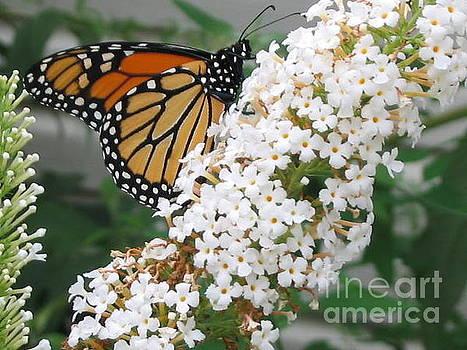 Butterfly On Bush by Iris Newman