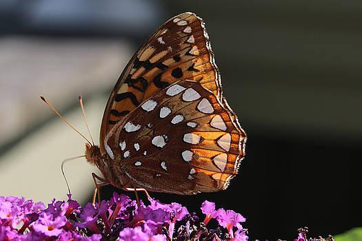 Butterfly on Butterfly Bush by Don Pettengill