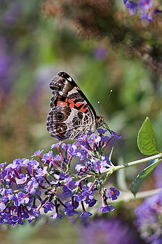 Jill Lang - Butterfly on Butterfly Bush