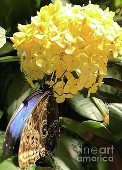 Butterfly on Buttery Flower by Barbie Corbett-Newmin