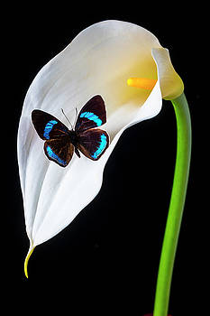 Butterfly On Calla Lily by Garry Gay